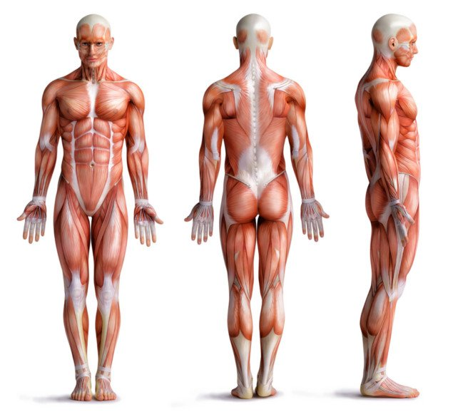 muscle body without skin graphic