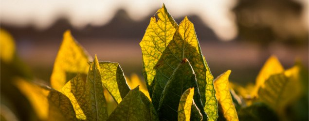Tobacco leaves backlit by sunset in tobacco field