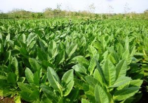 tobacco growing