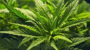 marijuana bloom