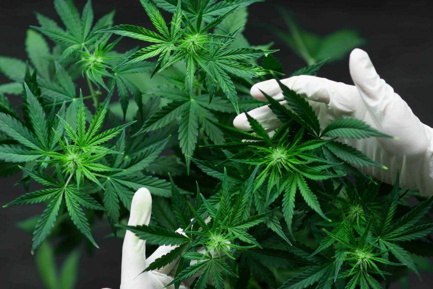 Canberra legalizes recreational marijuana