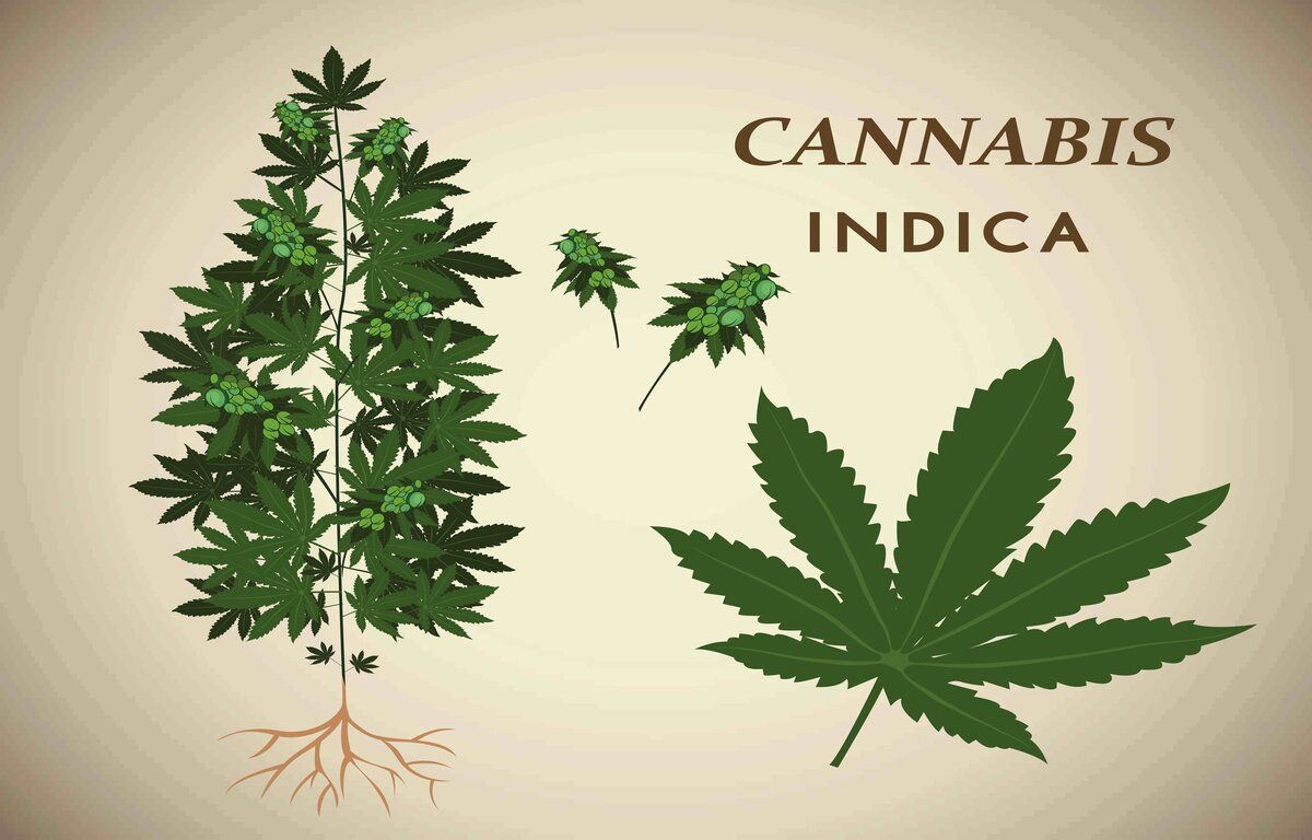 What is Indica